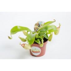 Непентес Хукериана (лат.Nepenthes hookeriana)