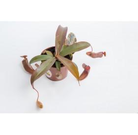 Непентес сангвинея (лат.Nepenthes sanguinea)