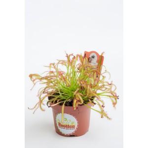 Росянка капская (лат. Drosera capensis)