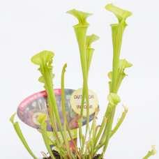 Саррацения Флава (лат. Sarracenia Flava) D9 см.