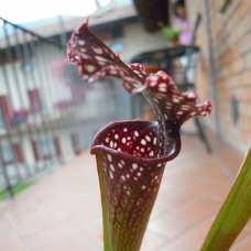 Саррацения Фарнхами (лат. Sarracenia Farnhami) D9 см.