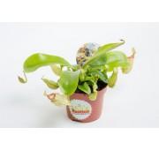 Непентес мирабилис (лат. Nepenthes mirabilis)