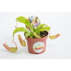 Непентес Вентрата  (лат. Nepenthes Ventrata)