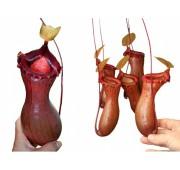 Непентес Вентрикоза
