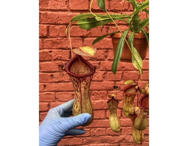 Непентес Вентрата  (лат. Nepenthes Ventrata) D16 см.