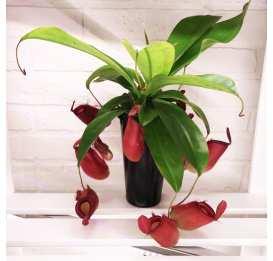 Непентес Кровавая Мэри D12 см (лат. Nepenthes Bloody Mary) взрослая