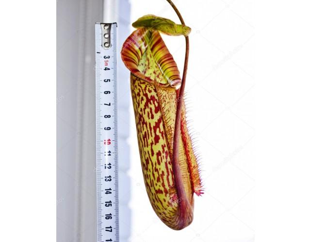 Непентес Миранда (лат. Nepenthes Miranda) D16