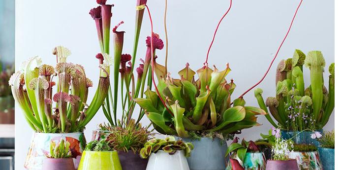 Коллекционируете редкие виды хищных растений?