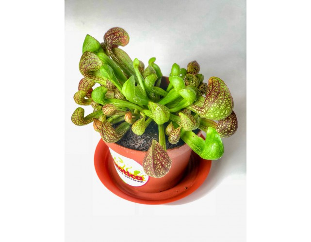 Саррацения Пситацина (лат. Sarracenia Psittacina)D9 см.