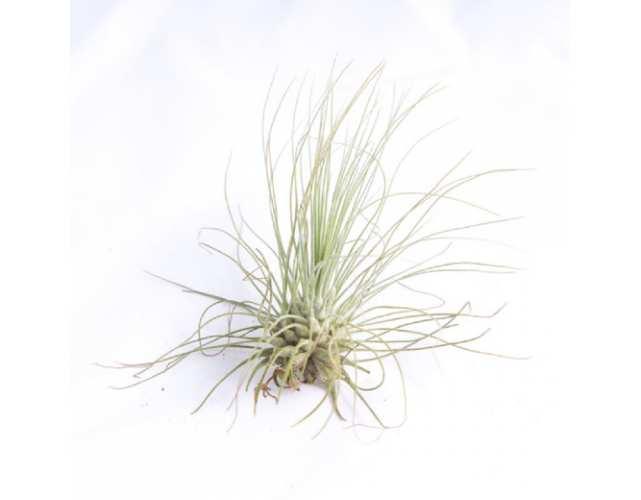 Тилландсия Серебристая (лат. Tillandsia argentea)