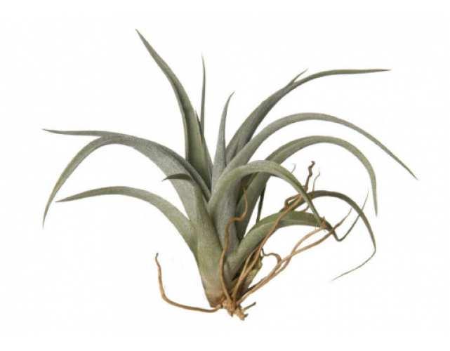 Тилландсия Гарденера (лат.Tillandsia aeranthos)