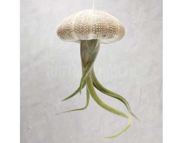 Тилландсия Голова Медузы (лат. Tillandsia Caput Medusae)