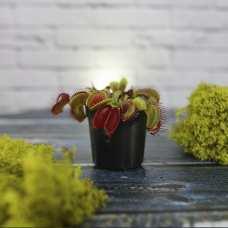 Венерина Мухоловка Типичная форма малютка D6cм