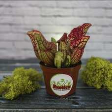Саррацения Веноза красная (лат. Sarracenia Venosa red) D9 см.