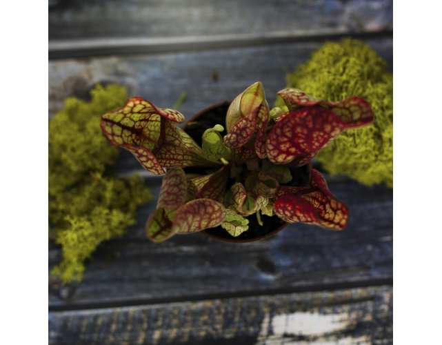 Саррацения Веноза красная (лат. Sarracenia Venosa red) D9см