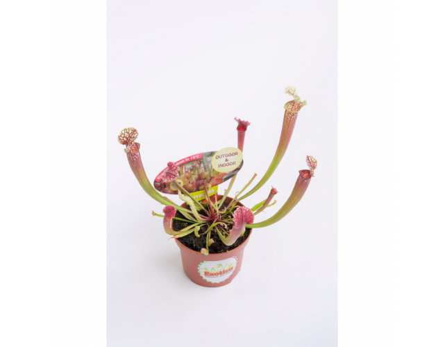 Саррацения Стивенси (лат. Sarracenia Stevensii) D9 см.