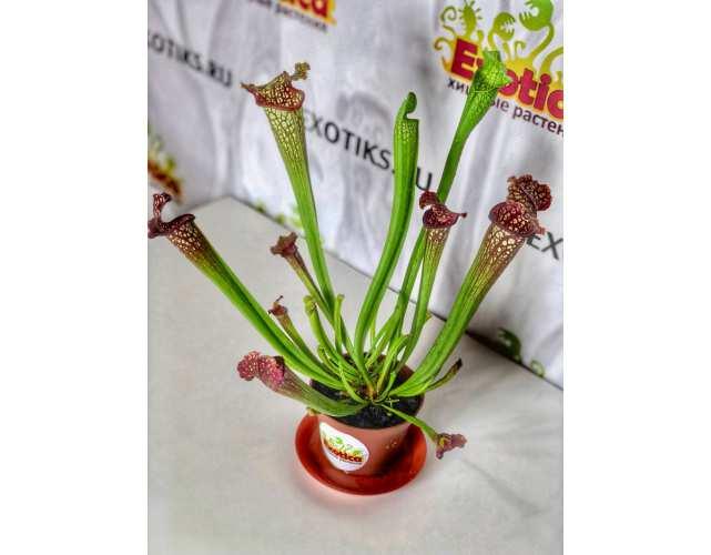 Саррацения Лейкофула Красная (лат. Sarracenia Leucophylla Red) D9см