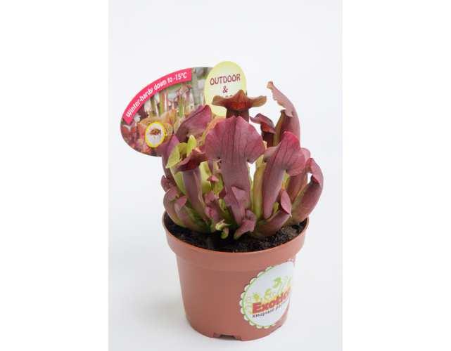 Саррацения Марун (лат. Sarracenia Maroon) D9 см.