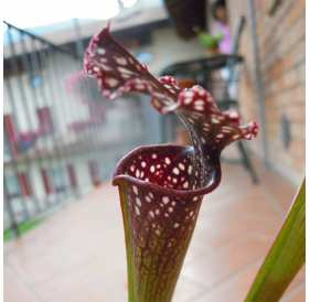Саррацения Фарнхами (лат. Sarracenia Farnhami) D9cм
