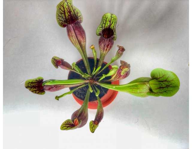 Саррацения Дракула (лат. Sarracenia Dracula) D9см