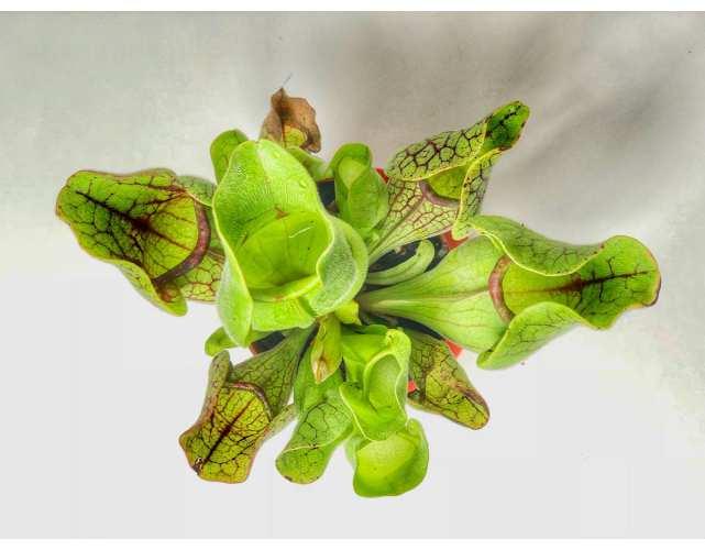 Саррацения Веноза (лат. Sarracenia Venosa) в горшке D9 см.