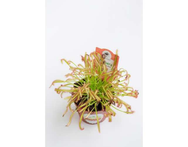 Росянка Капская (лат. Drosera Capensis) D9 см.