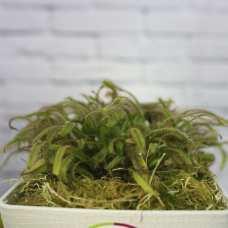 Росянка Капская (лат. Drosera Capensis) D12 см. пересаженная