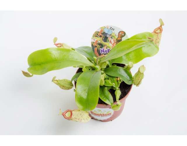 Непентес Хукериана (лат.Nepenthes hookeriana) D9 см.