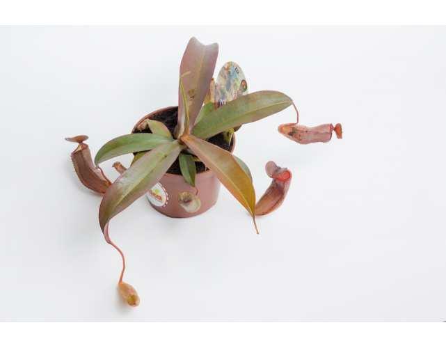 Непентес Сангвинея (лат.Nepenthes sanguinea) D9 см.