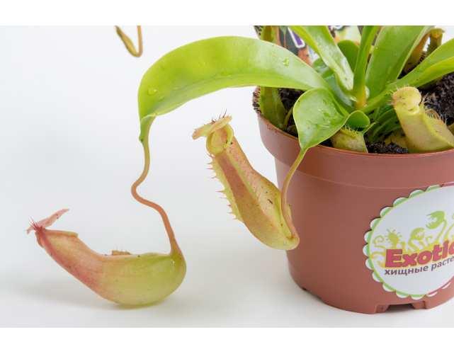 Непентес Вентрата (лат. Nepenthes Ventrata) D9 см.