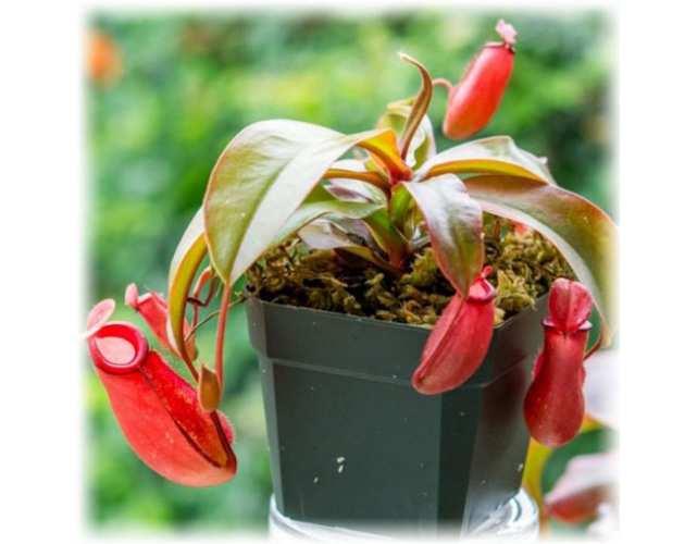 Непентес Кровавая Мэри (лат. Nepenthes Bloody Mary) D9см