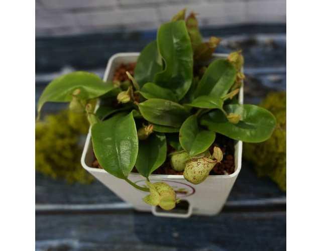 Непентес Хукериана (лат.Nepenthes hookeriana) пересаженный D12 см
