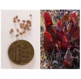 Семена Саррацении пурпурной