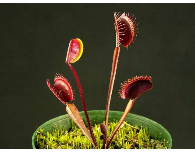 Семена Мухоловки сорт Красный дракон