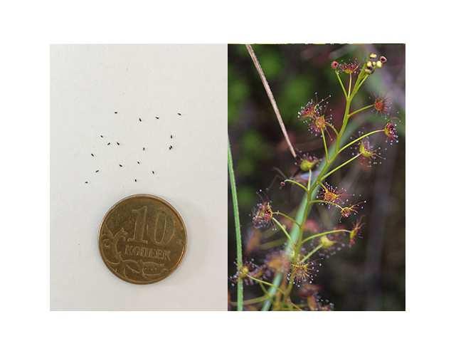 Семена Росянки пелтаты