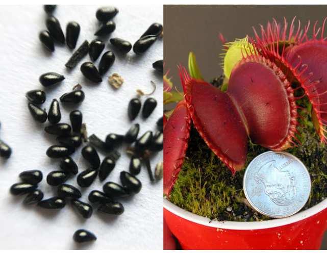 Семена Венерины Мухоловки B52