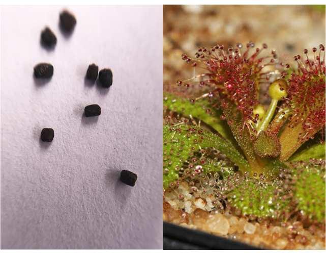 Семена Росянки whittakerii
