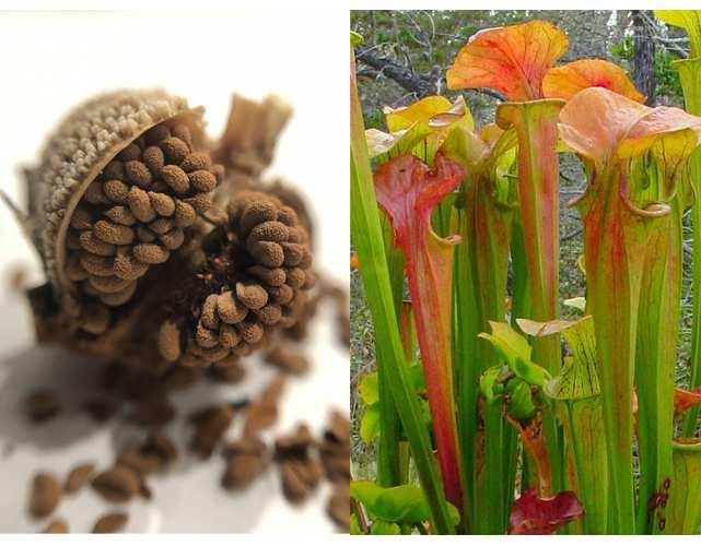 Семена Саррацении Горолюбивой