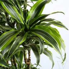 Драцена Дорадо (Dracaena dorado) 1 метр