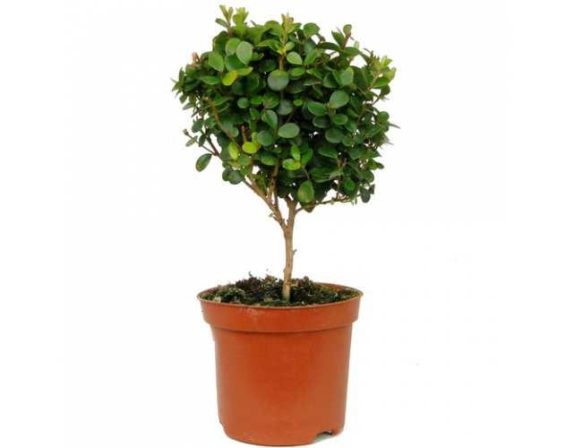 Мирсина африканская (Myrsina africana)