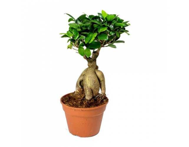 Фикус микрокарпа (Ficus microcarpa) в горшке D11см