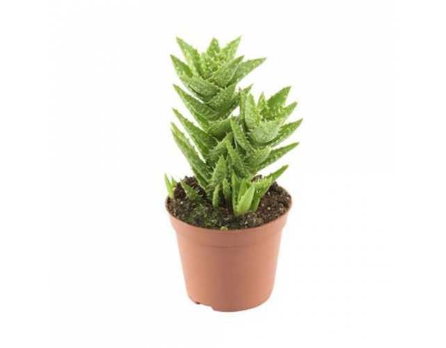 Алоэ оттопыренное (Aloe squarrosa)