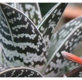 Алоэ пестрое, или тигровое (лат. Aloe variegata)