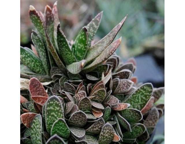 Гастерия пятнистая (лат. Gasteria maculata)