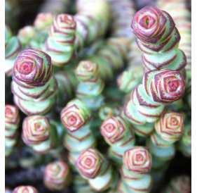 Крассула марнье (лат. Crassula marnieriana)