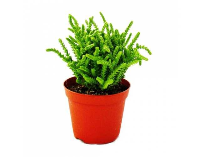 Крассула Плауновидная (лат. Crassula lycopodioides)