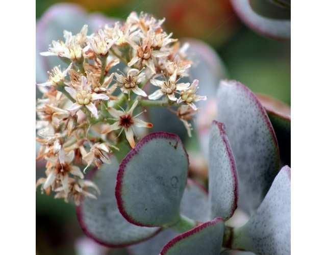 Толстянка древовидная или волнистолистная (лат. Crassula arborescens)