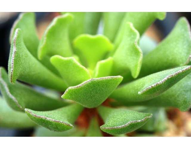 Адромискус гибридный (Adromischus Hibrid)