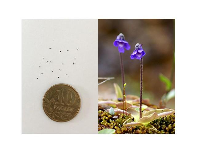 Семена Жирянки обыкновенной