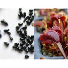 Семена Мухоловки сорт Akai Ryu